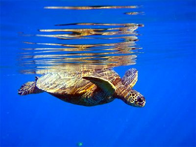 Spot sea turtles with Kayak Maui