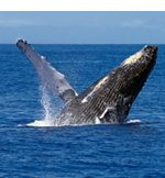 Maui Whale Watching is Incredible aboard Malolo