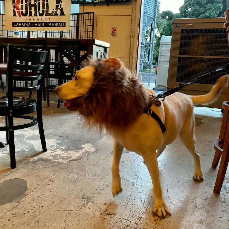 Dog dressed as a lion at happy hour