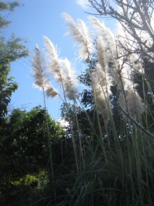 Start by removing invasive species in your own back yard, like this ornamental pampas grass.