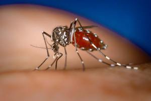 Aedes albopictus is widespread in Hawai'i and is a vector of Zika among other human diseases. Photo by James Gathany, CDC.