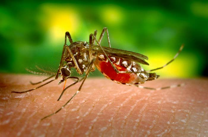 The Aedes aegypti mosquito is the primary vector of dengue worldwide. This species is not widespread in Hawaii. Photo by James Gathany,CDC.