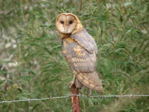 Introduced barn owls are the owl most often seen in Hawaii. Photo by Forest & Kim Starr