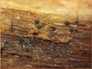 Fungal spores of Ceratocytis on a dead log. The fungus can survive in dead logs for a year or more, and the disease can infect the plants for 2-3 months before symptoms appear. Help stop the spread by not moving ohia-logs or seedlings. Photo by J.B.Friday