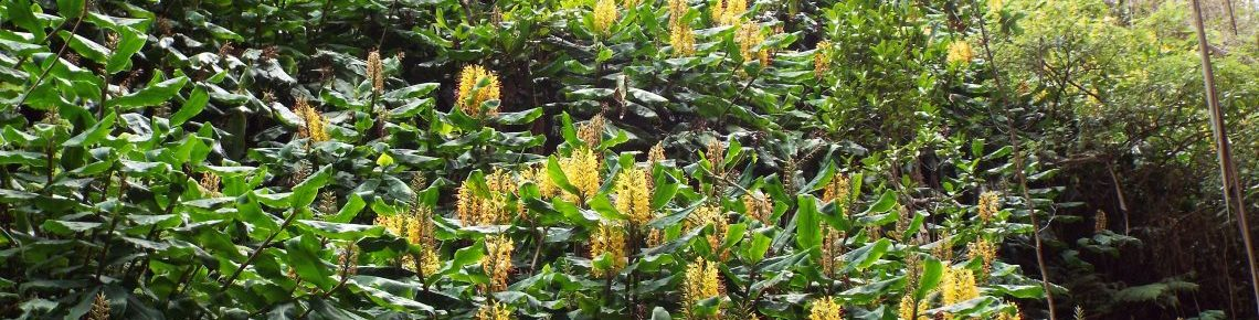 Natural enemies could tame invasive Himalayan ginger