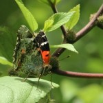 The ancestors of the Kamehameha butterfly found a food source in māmaki and related plants in the nettle family. Photo by Nathan Yuen