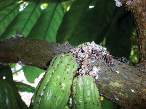 The little fire ant-bad news for food crops — Maui Invasive