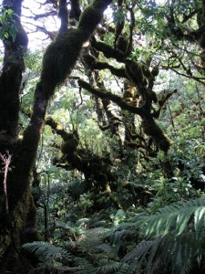Open canopy rainforest in Puu Kukui