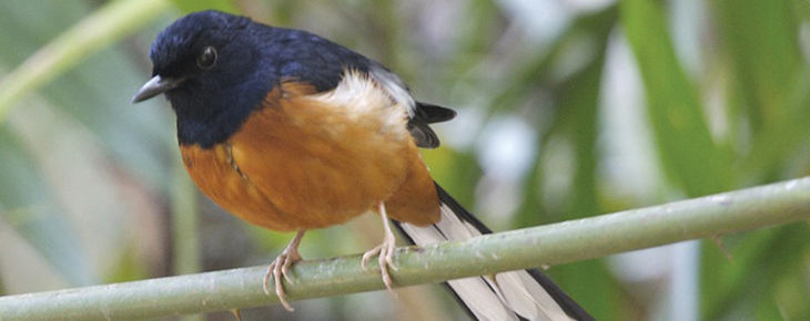 Introduced songbirds can be invasive in Hawai'i