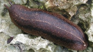 The Cuban slug is one of the common slugs on Maui and a carrier of rat lungworm. Photo by David Robinson of USDA-APHIS.
