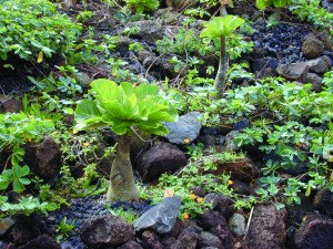 Landscaping with native species, like this ālula, will also help save water. Photo by Forest and Kim Starr.