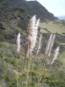 stand of Cortaderia jubata plant, or pampas grass