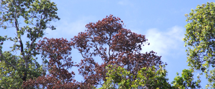 This ohia tree shows one of the characteristic symptoms of Rapid ʻŌhiʻa Death - the tree looks frozen or burnt, leaves still in place. Photo by J.B. Friday This ʻōhiʻa tree shows one of the characteristic symptoms of Rapid Ohia Death - the tree looks frozen or burnt, leaves still in place. Photo by J.B. Friday