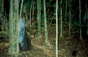 The forest floor under a miconia invasion is bare, often with exposed roots. Not a good sign for water collection. MISC file photo