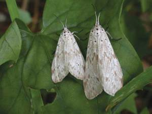The Secusio moth is about the size of an almond with mottling on the wings. The moth is nocturnal; turning off lights in the evening will encourage the moth to return to fireweed plants  to lay eggs. Photo courtesy of HDOA