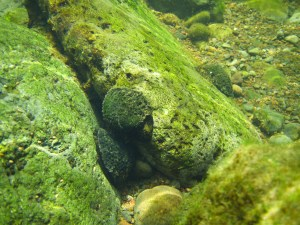 This hīhīwai, a native Hawaiian snail, clings to a rock in a Maui stream. The presence of slow-movnig hīhīwai can indicate the frequency and quantity of water needed for a healthy stream.
