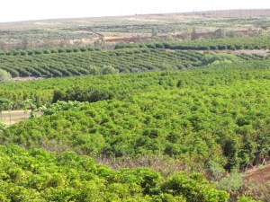 The coffee industry on Maui and throughout the rest of the state is growing, as this farm in Kaanapalli shows. But coffee berry borer threatens the entire state. Photo by Forest and Kim Starr.