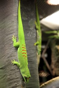 The giant Madagascar day gecko was illegally introduced to the state. Any sightings of the large 12 inch long moʻo should be immediately reported to the Hawaii Department of Agriculture at 634-PEST (7378). Photo by MrTinDC, Flikr.