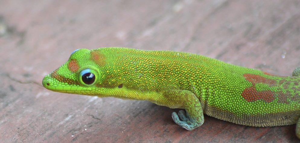 """Gold dust day geckos are here to stay. These colorful 5"""" long lizards are increasingly widespread on Maui and nothing to worry about. Photo by Eric Sonstroem, Flikr."""