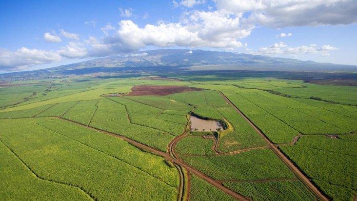 Sugar Cane on Maui