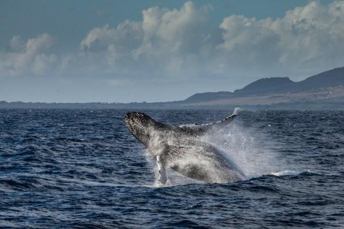Maui Whale count