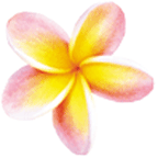 Hawaiiam yellow and pink Plumeria Flower