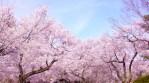 2017年関東地方の桜の開花時期はいつ頃になるのか調べてみました