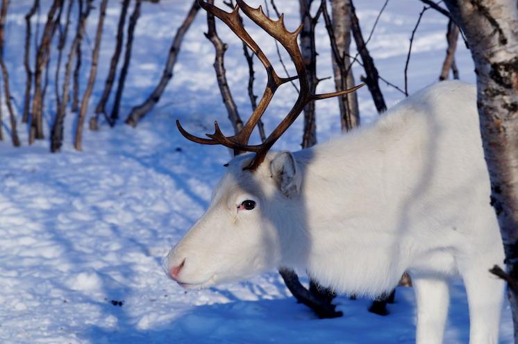 white reindeer 3