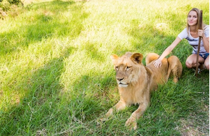 Walking With Lions at Casela