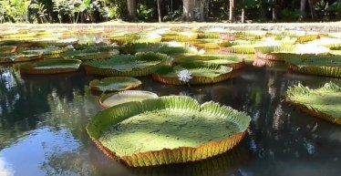 Sir Seewoosagur Ramgoolam botanical garden