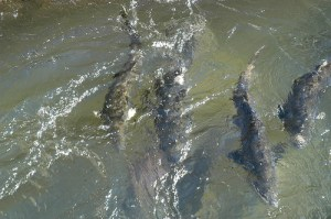 Chinook salmon, photo by Department of Fish and Wildlife