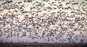 yolo snow geese ouellette