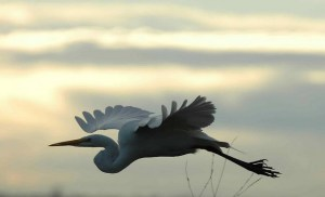 DFW Egret in flight