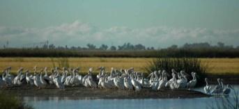 Pelicans-at-freeway-pond