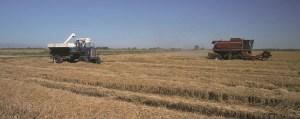 Rice harvesting Wikimedia Commons
