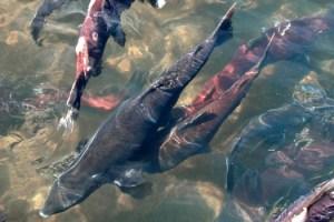 Salmon sliderbox