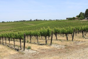 Paso Robles grapevines May 2014 #15