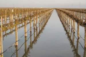 Flooded grapevines sliderbox
