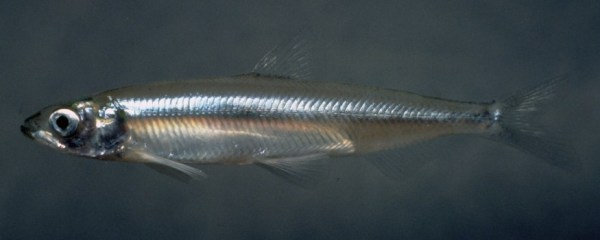 Hypomesus_transpacificus Delta smelt sliderbox