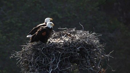 Protective Leaders - Eagles