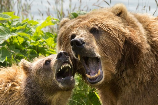Fight like a mother bear for her cubs