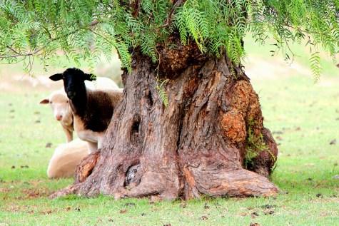 Sheep hiding