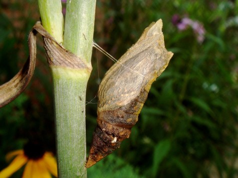 Butterfly in chrysalis - waiting for God's perfect time