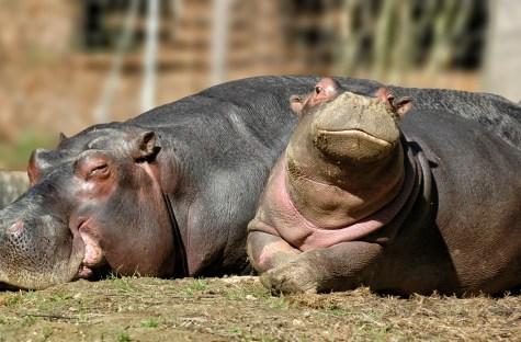 Hippopotamus family