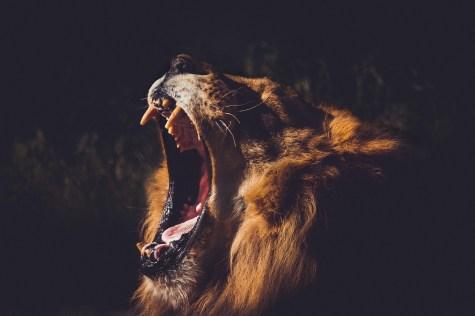 A Lions Roars