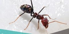 عاملات النمل ذوات الفك الصغير يقمن بخدمة الملكة ورعاية البيض