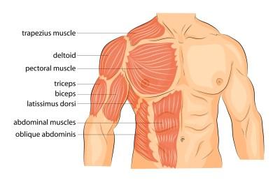 肩の筋肉の構造図