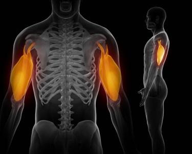上腕三頭筋 筋肉のイメージ