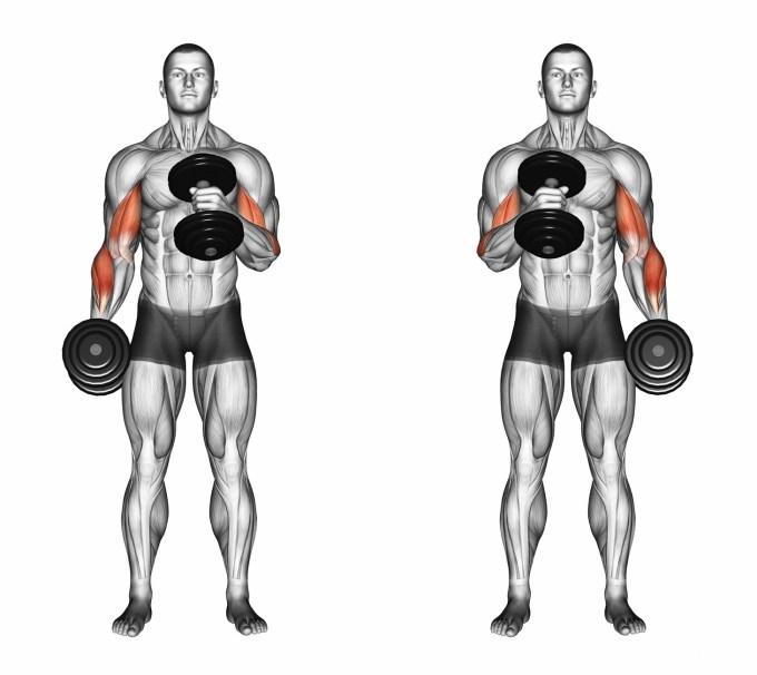 腕橈骨筋を鍛えるハンマーカール