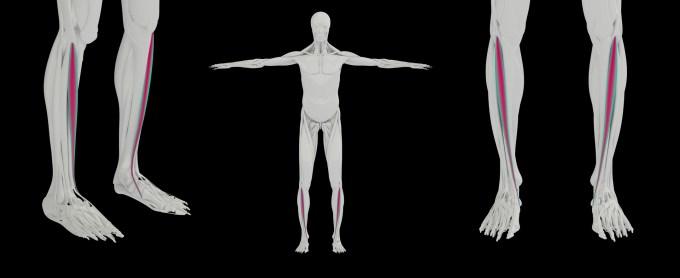 前脛骨筋の構造図